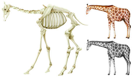 multiple objects: Giraffe and bone structure illustration