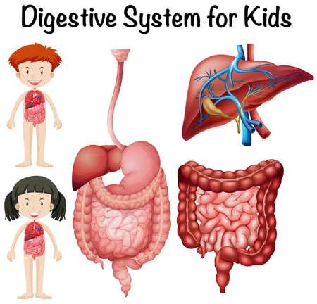 El sistema digestivo de los niños ilustración