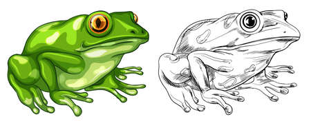 drafting: Drafting and colored picture of frog illustration Illustration