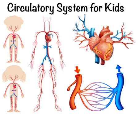 systems: Circulatory system for kids illustration