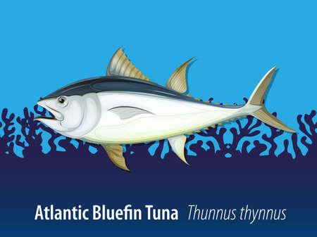 thunnus: Atlantic bluefin tuna in the sea illustration