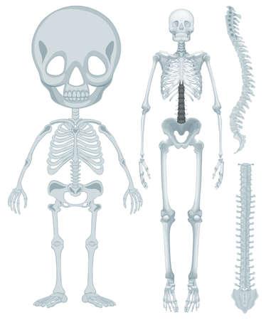 ser humano: sistema esquelético para el ser humano ilustración