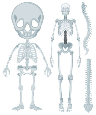 being: Skeletal system for human being illustration Illustration