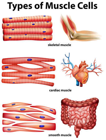 Diagram showing types of muscle cells illustration