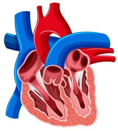 medical drawing: Inside diagram of human heart illustration Illustration