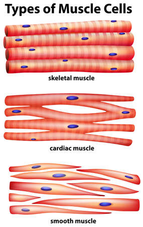 muscle cell: Diagram showing types of muscle cells illustration