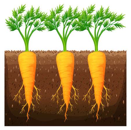 Fresh carrot growing in the field illustration