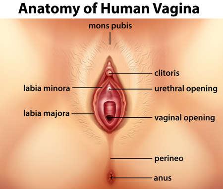 pubis: Diagram showing anatomy of human vagina illustration Illustration