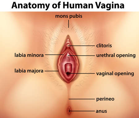 Diagram showing anatomy of human vagina illustration Illustration