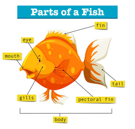animal body part: Diagram with parts of fish illustration Illustration