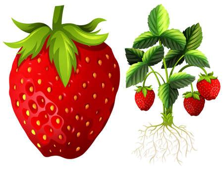 Strawberry and strawberry plant illustration Illustration