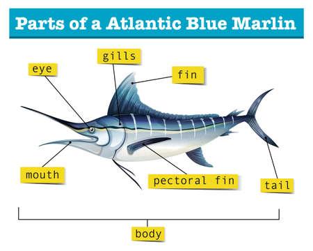 carnivorous fish: Diagram showing parts of atlantic blue marlin illustration Illustration