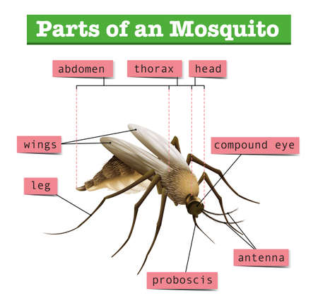 infectious disease: Different parts of mosquito illustration Illustration