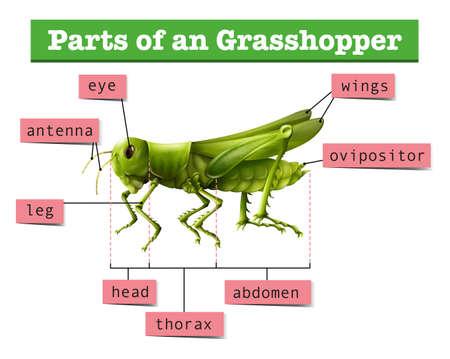 locust: Diagram showing different parts of grasshopper illustration