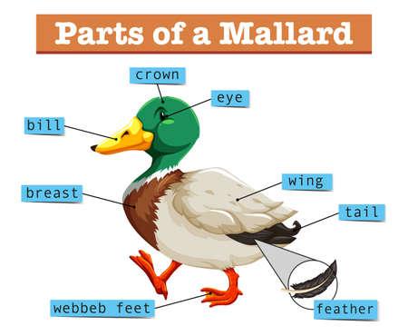 pato real: Las diferentes partes de la ilustraci�n del pato silvestre