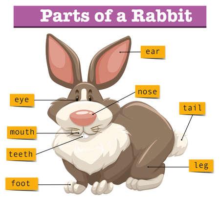 Anatomy Of Cute Rabbit Illustration Royalty Free Cliparts Vectors