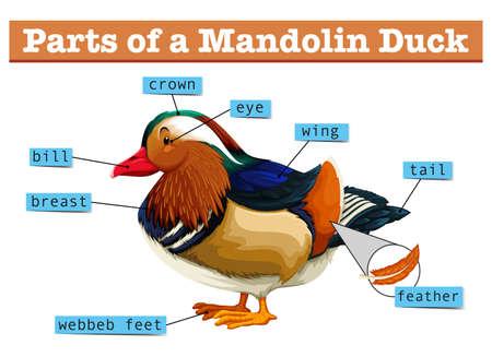 mandolin: Different parts of Mandolin duck illustration Illustration