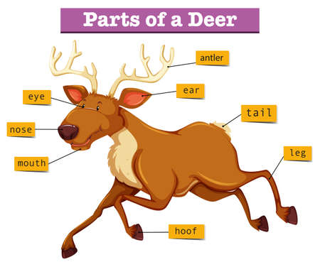 labelled: Diagram showing parts of deer illustration