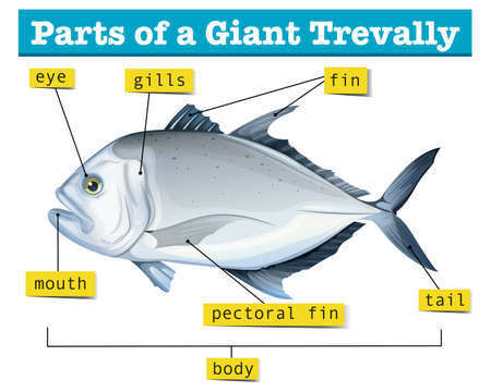 gills: Diagram showing parts of giant trevally illustration