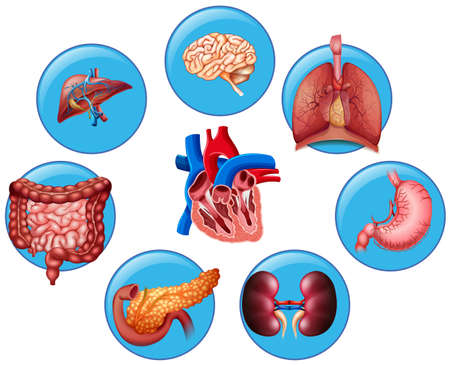 pancreatic: Diagram showing different human parts illustration