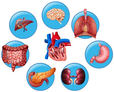 human heart: Diagrama que muestra la ilustración diferentes partes del cuerpo humano Vectores