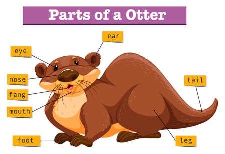 nutria caricatura: Anatomía de la ilustración nutria linda