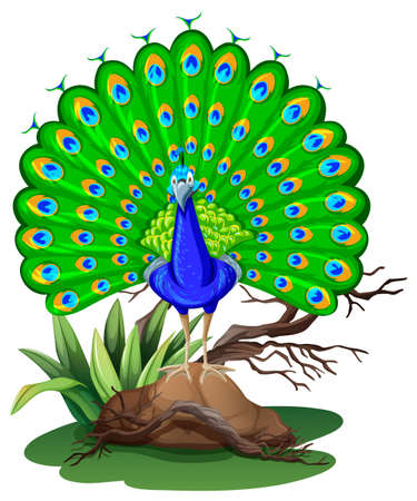 Wild peacock standing on rock illustration