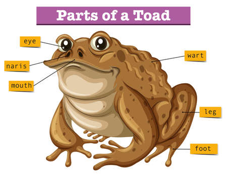 part frog: Diagram showing parts of toad illustration