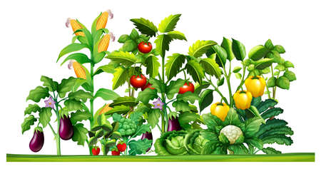 vegetables on white: Fresh vegetable plants growing in the garden illustration