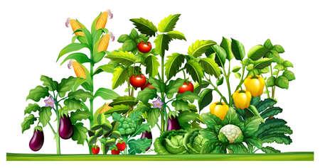 granja: plantas de hortalizas frescas que crecen en el jardín de la ilustración