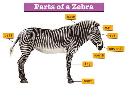 Diagram showing different parts of zebra illustration