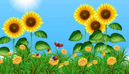sunflower field: Sunflower field with ladybugs flying illustration