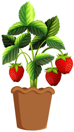 plant pot: Strawberry plant in clay pot illustration