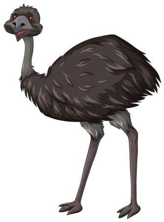 emu: Emu de aves en el fondo blanco ilustración Vectores