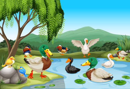 garden pond: Park scene with lots of ducks and birds illustration
