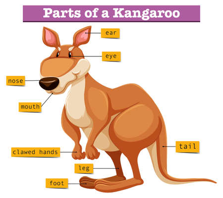 Diagram showing different parts of Kangaroo illustration