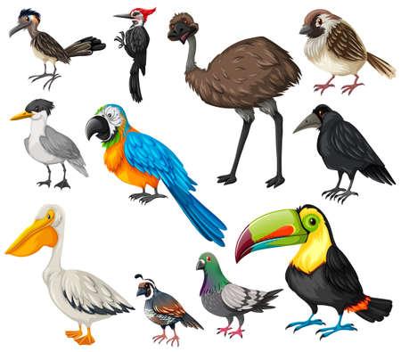quail: Los diferentes tipos de ilustración de las aves silvestres