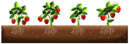 strawberry: Strawberry plants in the farm illustration