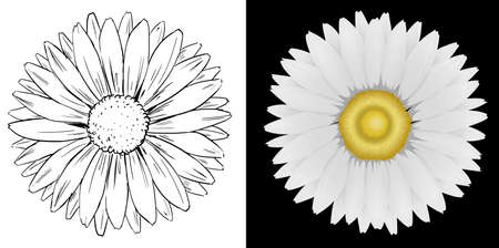 black background: Daisy flower on white and black background illustration Illustration