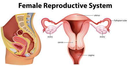 Diagram showing female reproductive system illustration