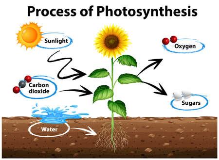 Diagrama que muestra el girasol y el proceso de la fotosíntesis ilustración Foto de archivo - 71260378