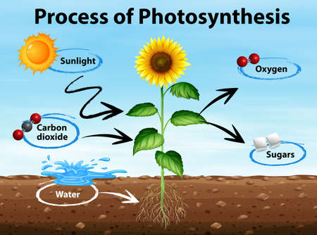Diagram showing process of photosynthesis illustration Vettoriali