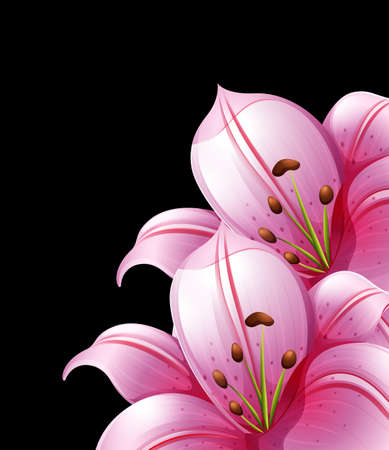 pink and black background: Pink lily flowers on black background illustration Illustration