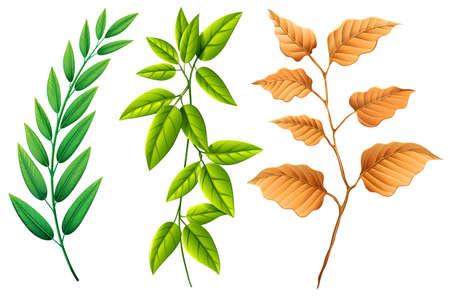 Three types of leaves illustration Illustration