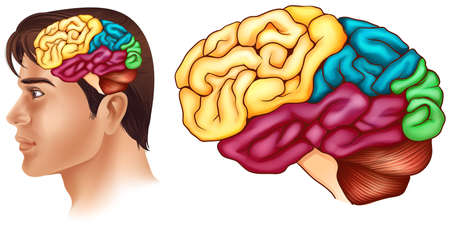 Diagram showing different parts of human brain illustration Illustration
