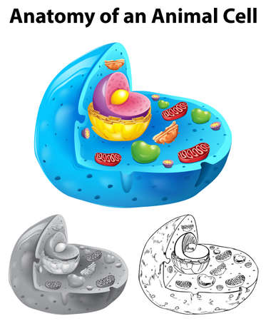 Anatomy Of Animal Cell In Three Different Drawing Styles ...