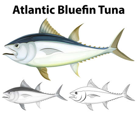 bluefin tuna: Drafting character for atlantic bluefin tuna illustration