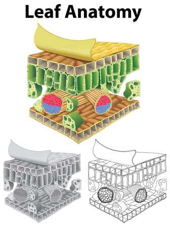 세 개의 스케치 그림에서 잎 해부학을 보여주는 다이어그램