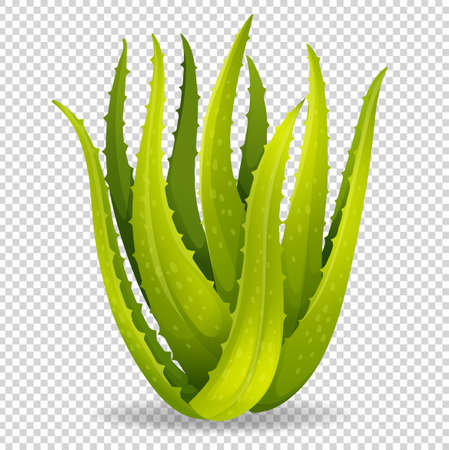 aloe vera plant: Aloe vera on transparent background illustration