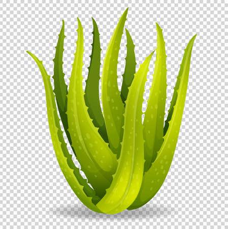 Aloe vera on transparent background illustration